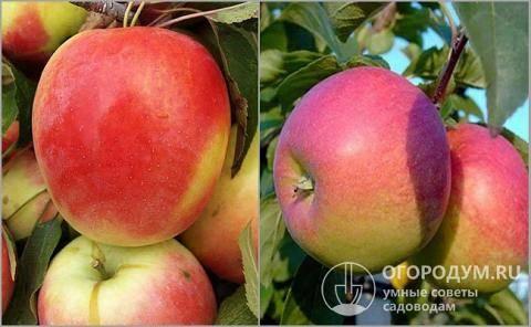 Яблоня бессемянка мичуринская: описание, фото, отзывы