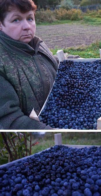 Голубика садовая: посадка и уход, выращивание в саду, сорта с описанием