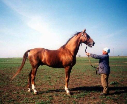 Описание и особенности содержания буденновской лошади