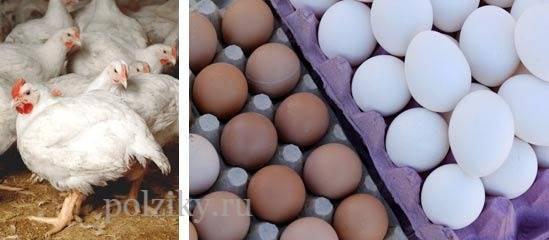 Несут ли бройлеры яйца в домашних условиях