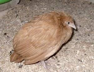 Заболевания кур несушек — симптомы и лечение в домашних условиях