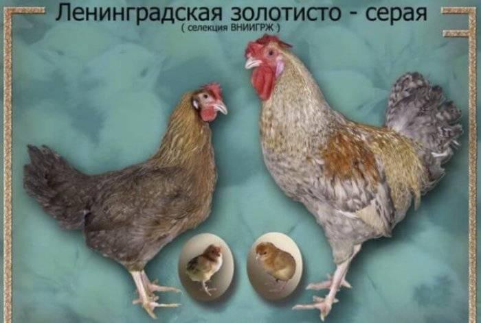 Ленинградские куры фото и описание золотисто-серых несушек