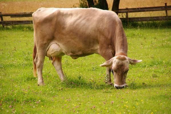 Монбельярдская(монбельярд) порода коров: характеристика, фото