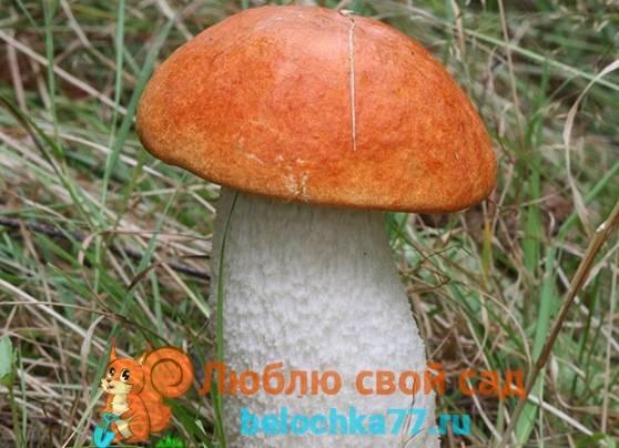 Подосиновик - фото, описание, полезные свойства, где растет и когда собирать гриб подосиновик