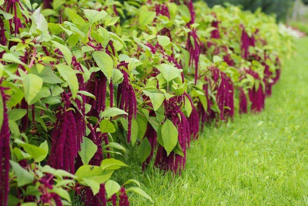 Цветок амаран: посадка и уход в открытом грунте, выращивание из семян
