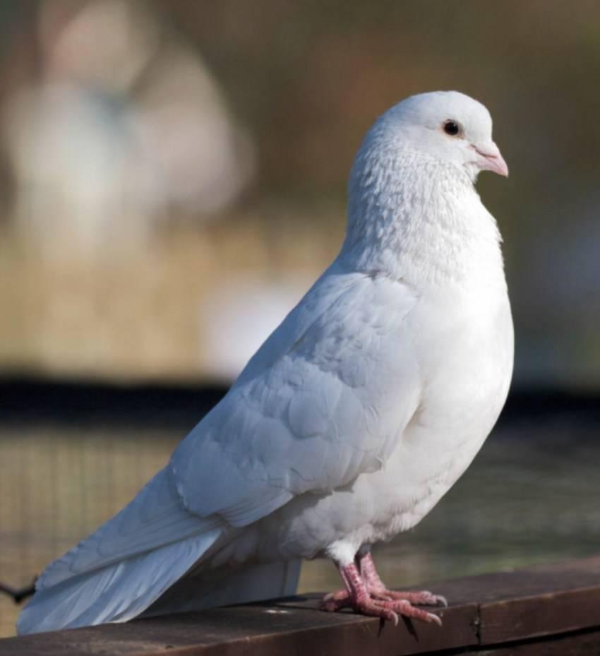 Содержание голубей: советы по выбору породы, особенности и правила содержания