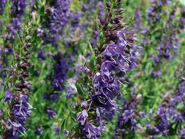 Иссоп: посадка и уход в открытом грунте, выращивание из семян, когда сажать и как обрезать весной, виды и размножение
