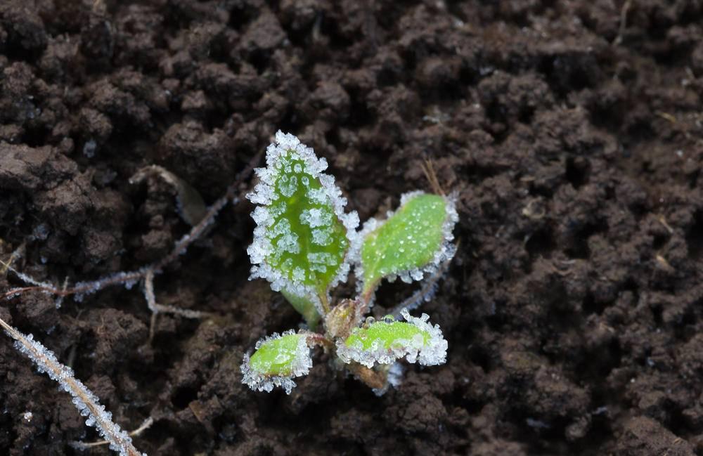 Можно ли солить подмёрзшую или замороженную капусту?