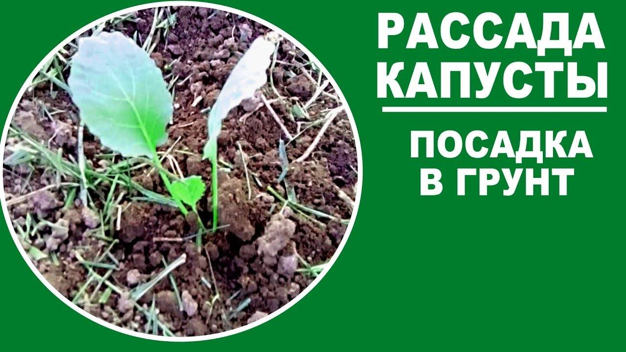 Когда садить капусту в открытый грунт рассадой, схема, видео и фото