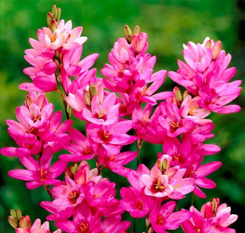 Цветок ацидантера (acidanthera) или «душистый гладиолус»