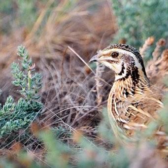 Перепёлка птица. описание, особенности, виды, образ жизни и среда обитания перепёлки