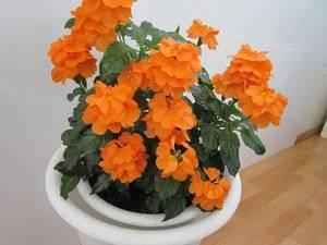 Правила посадки и ухода за комнатным цветком кроссандра в домашних условиях