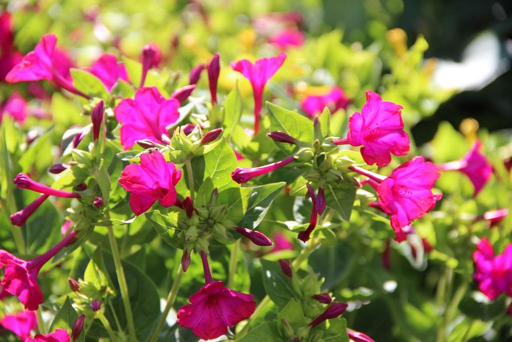 Мирабилис: посадка и уход | огородники