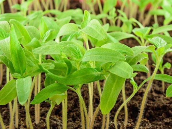 Томат чибис: описание сорта, рекомендации по выращиванию | сад и огород