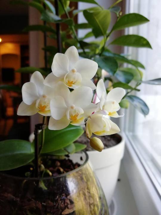Семь белых орхидей, которые трудно не полюбить с первого взгляда