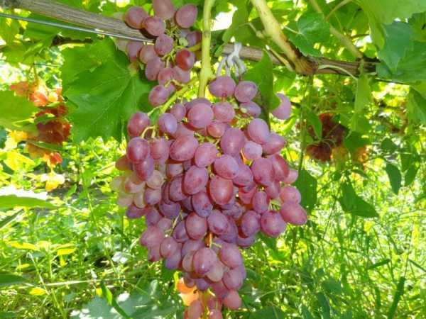 Виноград без косточек: девять самых известных разновидностей