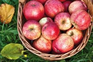 ✅ о яблоне заветное: описание и характеристики сорта, посадка и уход - tehnomir32.ru