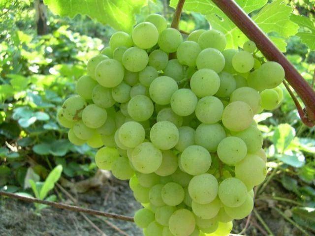 Виноград сорта восторг: описание и фото, отзывы