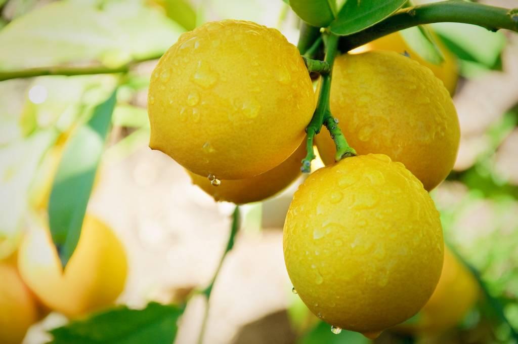 Лимон при грудном вскармливании: польза или вред?