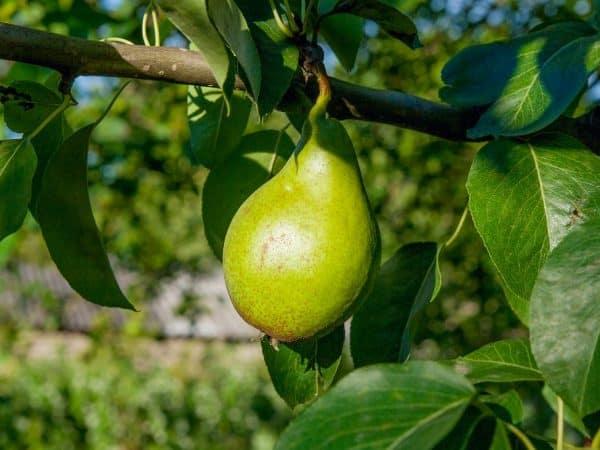 Груша свердловчанка: описание сорта и фото selo.guru — интернет портал о сельском хозяйстве