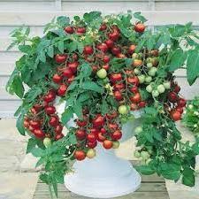 Выращивание помидоров на подоконнике проверенным методом