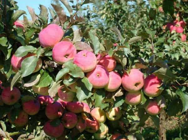 Яблоня сладкая нега: описание и характеристика, плюсы и минусы сорта, посадочные работы и уход, фото