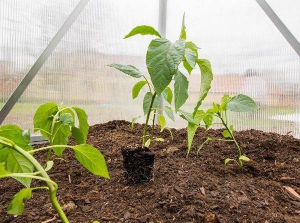 Как правильно и часто поливать перец в теплице и открытом грунте: технология полива