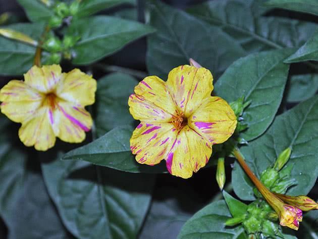 Мирабилис (45 фото): посадка и уход. когда сеять семена на рассаду в открытый грунт? описание ялапы и других видов, применение на клумбе