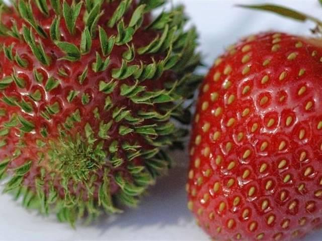 Как вырастить клубнику из семян своими руками - пошаговое описание процесса посадки, выращивания ухода за клубникой (100 фото + видео)