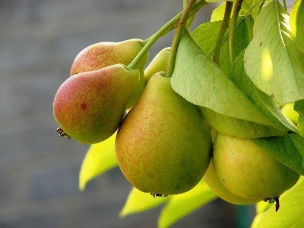 "Груша ""купава"": описание, характеристики сорта и фото плодов"