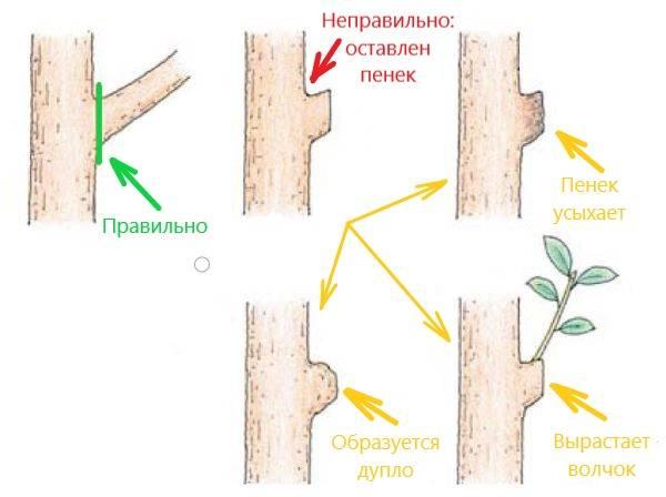 Обрезка абрикоса осенью – когда лучше проводить процедуру и как в дальнейшем ухаживать за деревом?