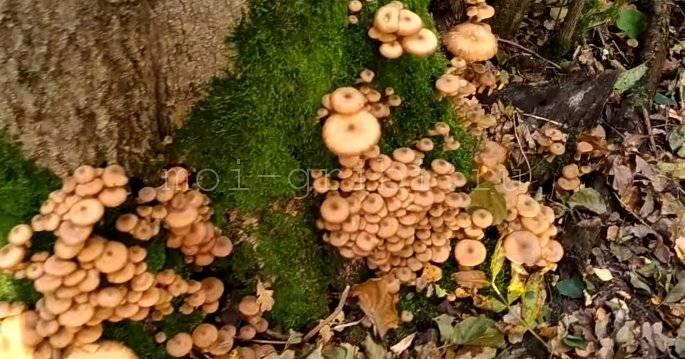 Опята: где растут и когда их собирать? описание и фото.