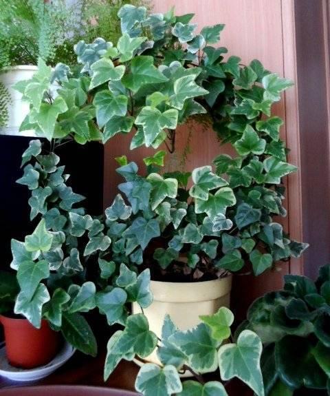 Названия цветов комнатных с длинными узкими листьями, с пятнистыми или пестрыми
