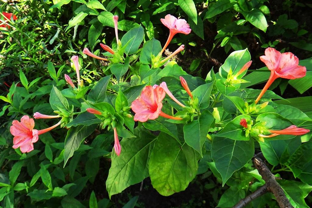 Описание мирабилиса — посадка и уход в открытом грунте