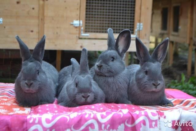 Кролик породы венский голубой. описание, уход и питание кролика венский голубой | животный мир