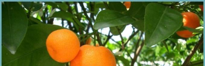 Домашний мандарин как вырастить в горшке, уход, размножение мандарина