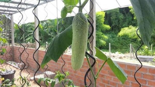 Выращивание огурцов в теплицах: полезная инструкция