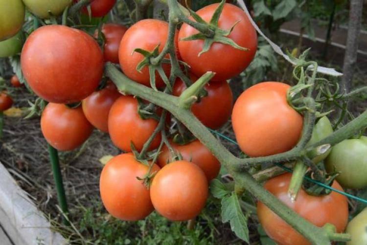 """Томат """"новичок"""": характеристика и описание сорта, выращивание вкусных помидор и фото русский фермер"""