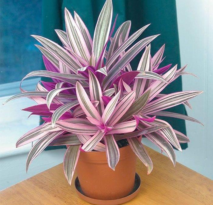 Цветок рео: уход в домашних условиях, пересдка и размножение