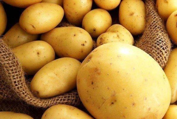 Почему желтеет, сохнет и вянет картофельная ботва