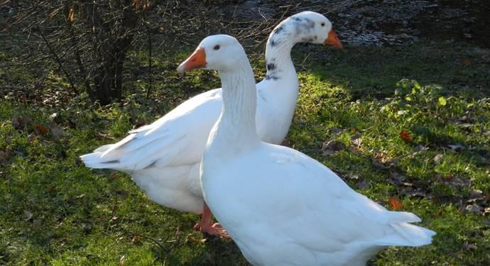 Датский легард гуси: описание породы (фото и видео)