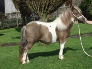 Лошадь пони: различия с обычными породами, разновидности и содержание