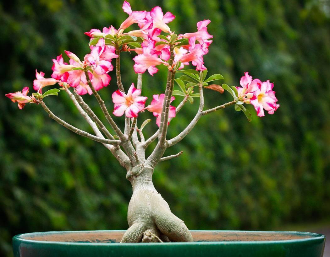 Красивоцветущий гость из африки адениум тучный (обесум): описание с фото и рекоммендации по уходу