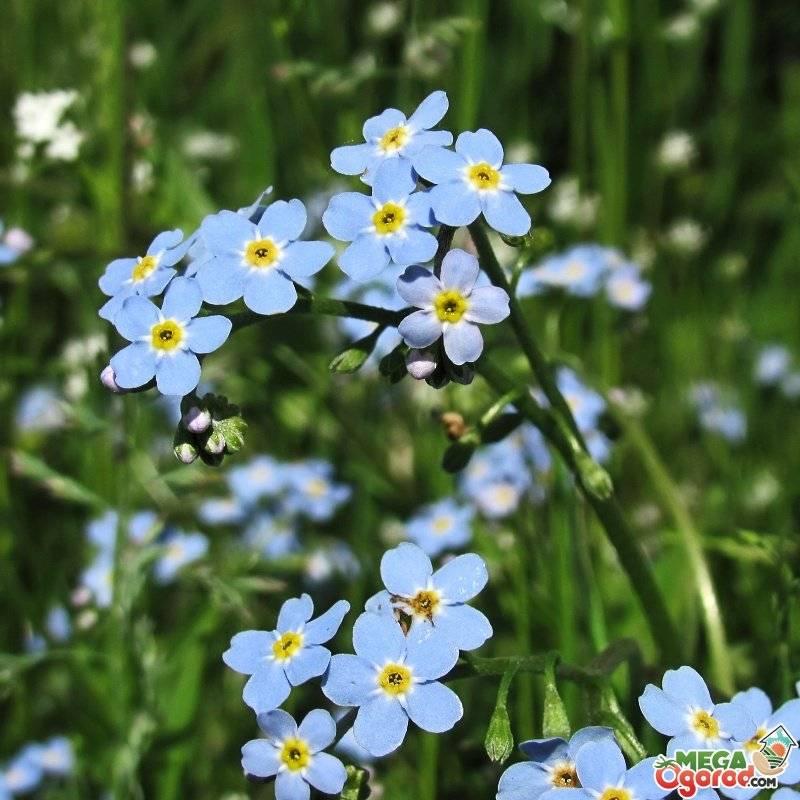 Незабудка(цветок): фото, описание и виды растения