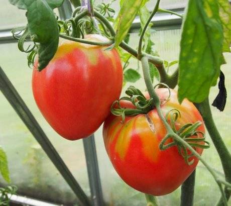 Лучшие сорта низкорослых томатов для теплиц и закрытых грядок