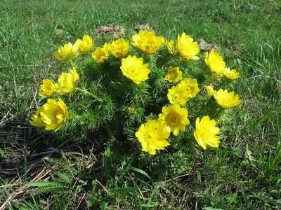 Адонис — яркие солнышки в саду. уход, выращивание, размножение. фото — ботаничка.ru