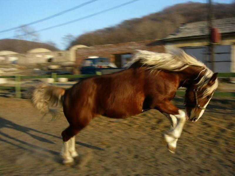 Обзор породы лошадей советский тяжеловоз обзор породы лошадей советский тяжеловоз