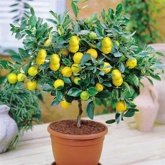 Как вырастить лимон из косточки в домашних условиях: простые советы и подробное описание выращивания цитрусовых (100 фото)