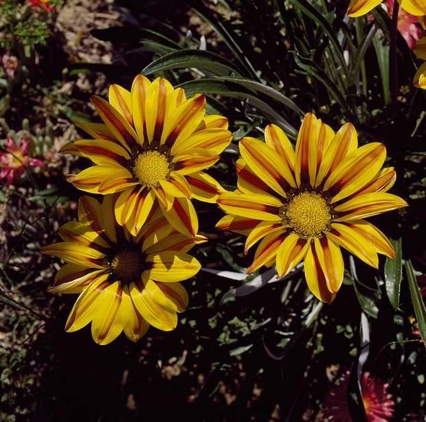 Гацания - выращивание из семян, когда сажать на рассаду, посадка и уход