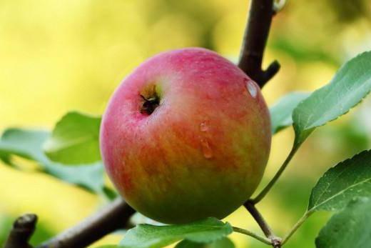 Описание и посадка сорта яблони мечта, уход и размножение